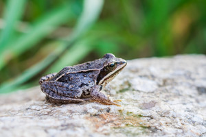 Frog sitting on rock close up. Beautiful springtime background
