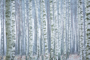 Frozen birch forest landscape. Early winter landscape with frost on birch trees.