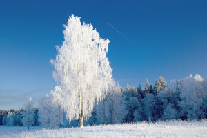 Frozen trees at the edge of a forest under a blue sky