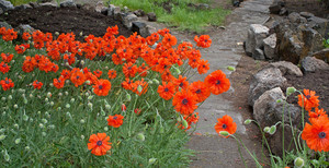 Giant Orange Poppies