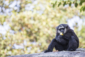 Gibbon Black hand