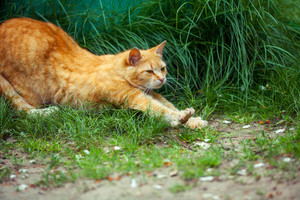 Ginger cat stretches on grass