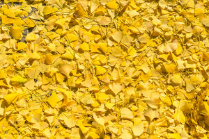 Gingko leaf yellow fall on ground.
