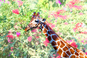 Giraffe against flower background