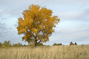 Golden tree in a field of tall grass