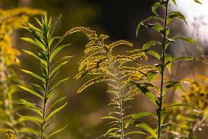 Goldenrod branches in sunlight.