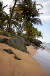 Gorgeous golden sands and coconut palm trees overlooking the beach in the town of Luquillo Puerto Rico.