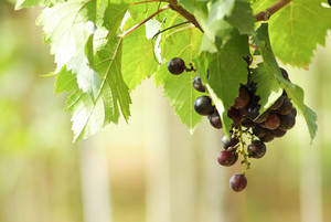 grape in garden blur bokeh background