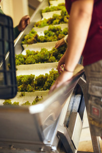 Grapes on conveyer belt of a machine in modern winery. Workers hand sorting grapes on a conveyor belt before they head to the crusher.