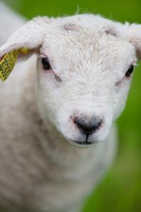 A cute lamb standing in a green field.
