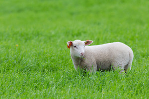 A cute lamb standing in a green field.