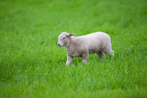 A cute lamb walking in a green field.