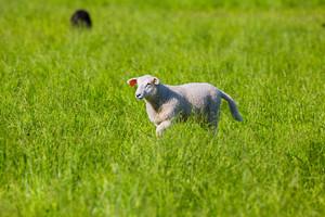 A cute lamb / young sheep walks in a green field.