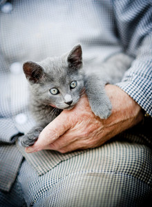 A cute little grey kitten is playing outside with human hands