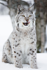 A european lynx in the winter forest. February, Norway.