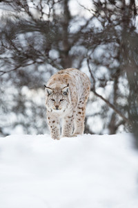 A european lynx sneaks in the winter forest. February, Norway.