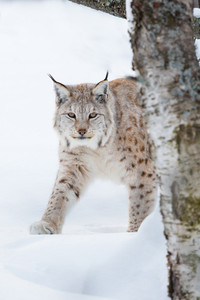 A european lynx walking in the winter forest. February, Norway.