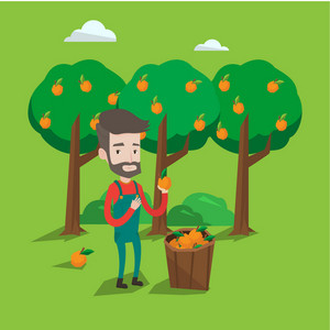 A happy farmer holding an orange on the background of orange trees. A hipster farmer with the beard collecting oranges. Gardener standing near basket full with oranges. Vector flat design illustration. Square layout.