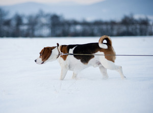 A hunt dog is walking outside in snow