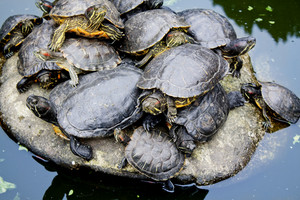 A lot of pond turtles