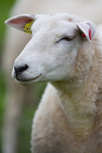 A sheep standing in a green field.