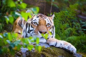 Amurtiger lying and rest in the nature.