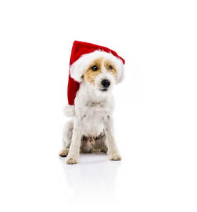 An adorable young parson russell terrier dog in santa hat sitting, isolated on white background