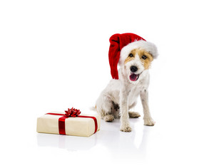 An adorable young parson russell terrier dog in santa hat sitting next to the Christmas gift, isolated on white background