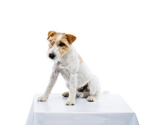 An adorable young parson russell terrier dog sitting on table isolated on white background
