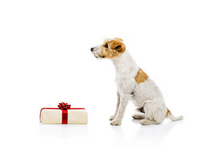An adorable young parson russell terrier dog standing next to Christmas gift, isolated on white background