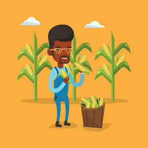 An african-american farmer holding a corn cob on the background of corn field. Farmer collecting corn. Farmer standing near basket full with corn. Vector flat design illustration. Square layout.