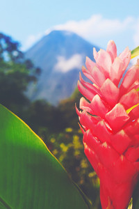 Arenal Volcano, Costa Rica with foreground tropical flower