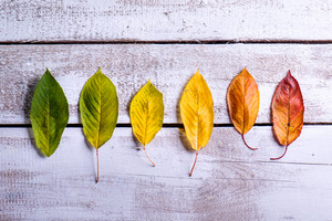 Autumn composition. Various colorful leaves in a row. Studio shot on white wooden background. Copy space.