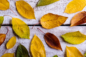 Autumn composition. Various colorful leaves. Studio shot on white wooden background.