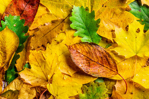 Autumn leaf composition. Studio shot on wooden background.