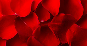 Background made of red rose petals. Studio shot.