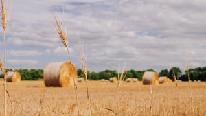 Bales of hay in a wheat field. Bales of hay rolled and ready to be packed in a farmers field in Summer