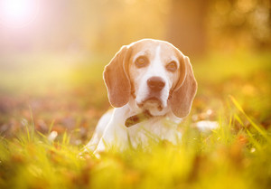 Beagle dog portrait on sunshine background in nature