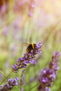 Beautiful lavender flowers outside on a meadow.