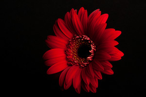 Beautiful Red Gerbera Flower