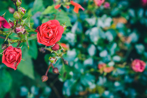 Beautiful red rose bush. Red roses bouquet with defocused foliage