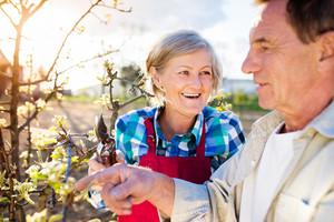 Beautiful senior couple pruning apple tree in his garden