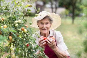 Beautiful senior woman in her garden harvesting tomatoes