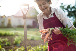 Beautiful senior woman in her garden holding carrots. Sunny nature.