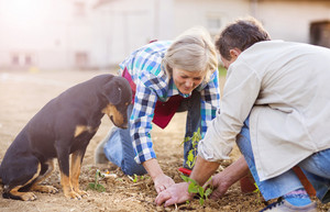 Beautiful seniors outside in their garden planting the vegetable