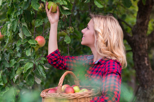 Beautiful young woman in red shirt harvesting apples