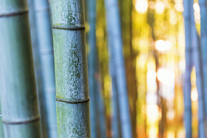 Big bamboo shoots close-up in the forest at sunset