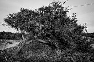Black and white silhouette of a isolated tree, bend by wind, in pine grove in Sardinia
