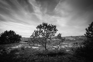 Black and white silhouette of a isolated tree in pine grove in Sardinia