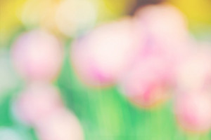 Blurred abstract spring tulips outside at sunset